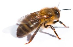 Honey bees are incredible insects, learn about them at cornwallhoney.co.uk