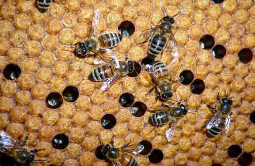 Bees with Sealed Brood in the Westcountry