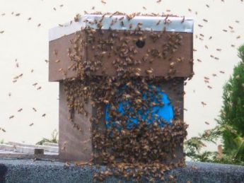 A swarm in a Cornish town