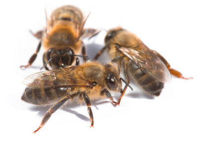 Honey bees live in colonies
