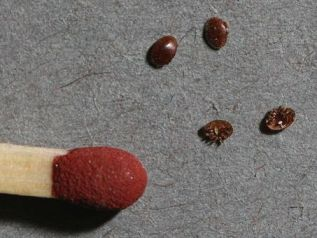 Varroa mites scaled next to a match-head
