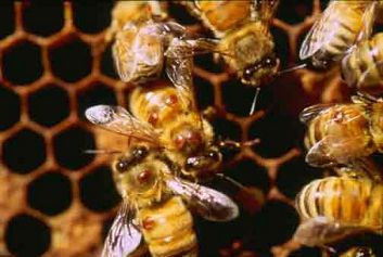 Varroa mites on worker honey bees
